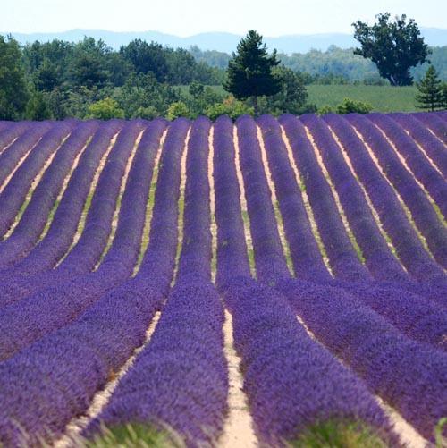 Lavender Extra - Bulgarian