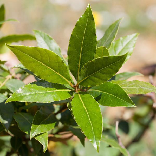 Bay Laurel (Laurel Leaf)