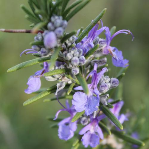 Rosemary ct. verbenone/camphor