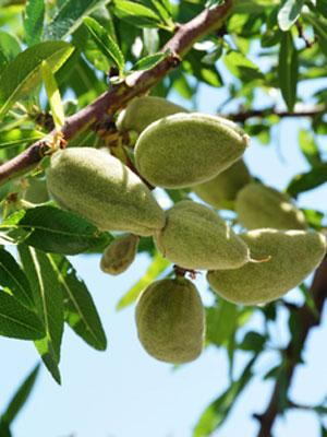 Carrier Oils - Organic Sweet Almond oil