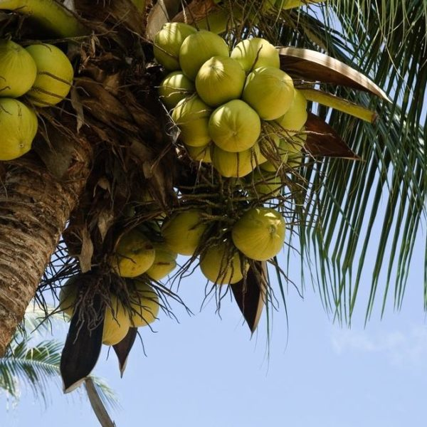 Carrier Oils- Organic Fractionated Coconut